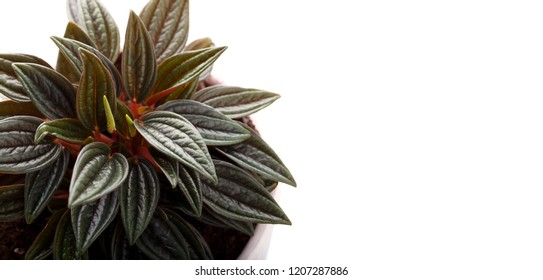 Houseplant peperomia in a white flowerpot isolated over white close up copy space