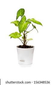 The houseplant Singonium