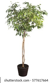 Houseplant tree (ficus benjamina) in a pot isolated on white