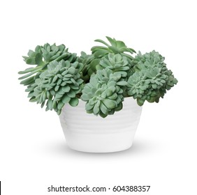 houseplant - young Echeveria a potted plant isolated over white