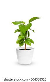 houseplant - young Hibiscus a potted plant isolated over white