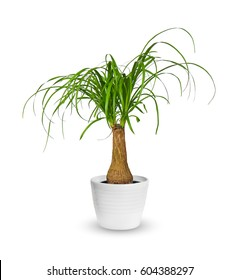 houseplant - young Nolina a potted plant isolated over white