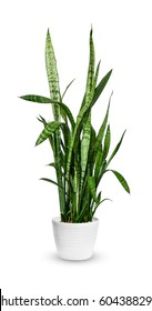 houseplant - young Sansevieria trifasciata a potted plant isolated over white