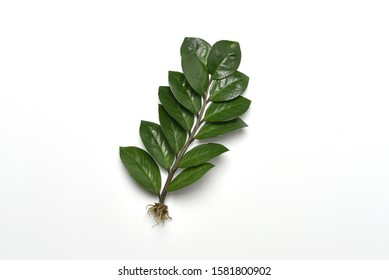 Houseplant Zamioculcas isolated on a white background. Branch with tuber ready for transplanting into the ground.