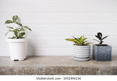 Houseplants  air purifier tree Ficus Elastica Burgundy or Rubber Plant,Dracaena surculosa and Snake plant in modern container   on concrete table with white wooden wall background