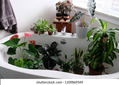 Houseplants in a bathtub after being cleaned. Maintenance for houseplants is a must. Dust stops photosynthesis.