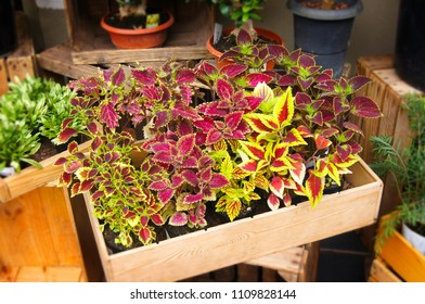 Houseplants Coleus scutellarioides Selling in the Market