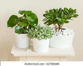 houseplants fittonia albivenis, crassula ovata, peperomia in white pots
