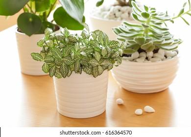houseplants fittonia albivenis, peperomia, crassula ovata, echeveria in white pots