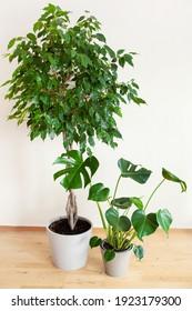 houseplants monstera and ficus benjamina in flowerpots