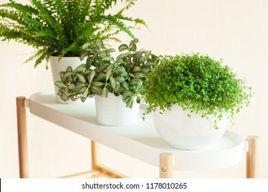 houseplants Nephrolepis, fittonia, Soleirolia soleirolii in white flowerpots