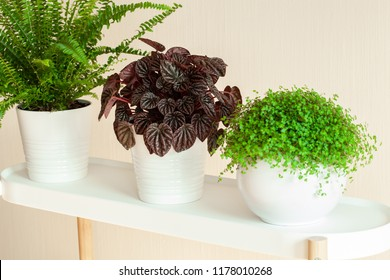 houseplants Nephrolepis, peperomia caperata, Soleirolia soleirolii in white flowerpots
