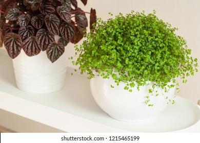 houseplants peperomia caperata and Soleirolia soleirolii in white flowerpots