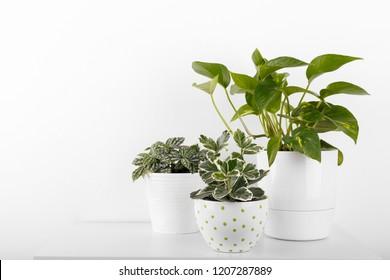 Houseplants peperomia fittonia euonymus golden pothos in white modern flowerpots