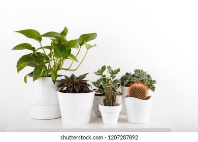 Houseplants peperomia fittonia golden euonymus pothos cactus in white modern flowerpots