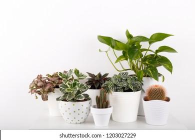 Houseplants peperomia fittonia golden pothos cactus in white modern flowerpots