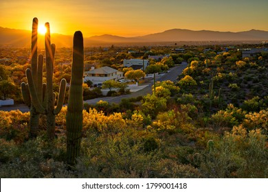Houses between Saguaros in Tucson Arizona.