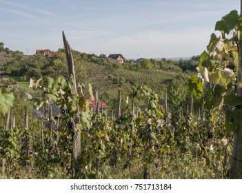 Houses on a hill in a vineyard. The main focus are the houses