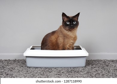 house-trained siamese cat sitting in cat toilet or kitty litter box