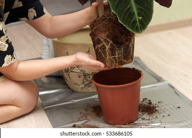The housewife transplants a plant at home