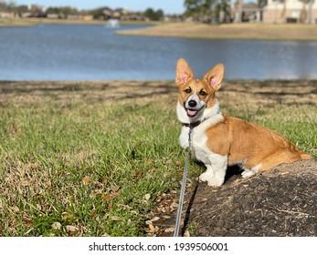 Houston, Texas, USA. March 19 2021: Corgi in a Park