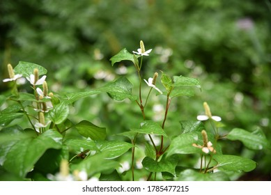 Houttuynia cordata blooms in summer in a shady flower garden
