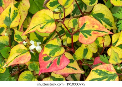 Houttuynia cordata 'Chameleon' a spring summer garden variegated flower plant also known as Harlequin plant or heart leaved houttaynia stock photo image