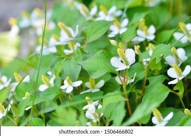 Houttuynia cordata flowers in garden