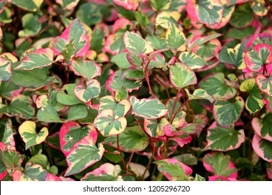 Houttuynia cordata, also known as fish mint, fish leaf, rainbow plant, chameleon plant, heart leaf, fish wort, Chinese lizard tail, or bishop's weed