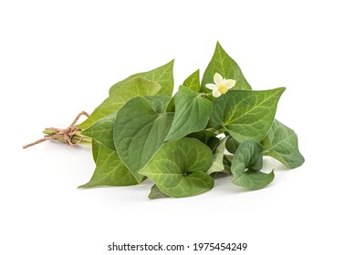 Houttuynia cordata or plu kaow branch green leaves and flower isolated on white background.