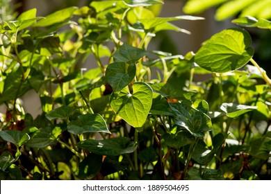 Houttuynia cordata or Plu Kaow (Thai Name) trees on natural background.