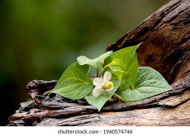 Houttuynia cordata or Plu Kaow trees and green leaves on nature background.