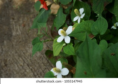 Houttuynia cordata Thunb.Plu Kaow Fresh leaves are pods. And herbal properties. Use the drug to treat kidney disease. And used as a cosmetic. Flowers are white.