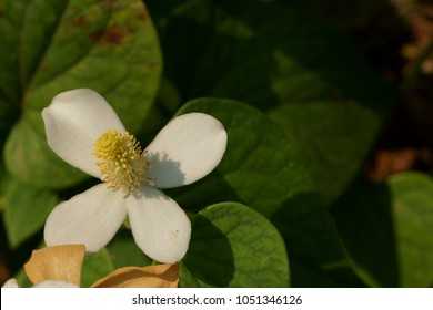 Houttuynia cordata Thunb.This is a great way to make money online.