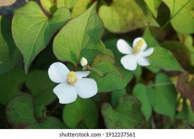 Houttuynia cordata with white flowers