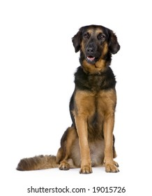 Hovawart dog (6 years) in front of a white background