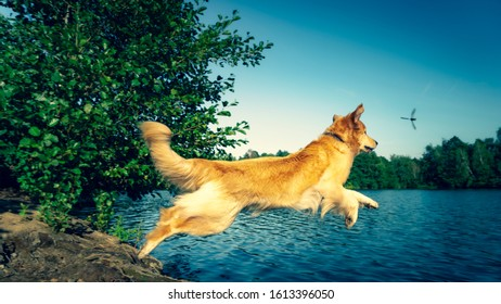 Hovawart dog in mid flight jumping into a lake with a dragon fly.