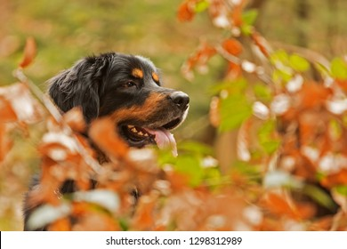 hovawart dog portrait in  the forest with small deep off field, between autumn leaves