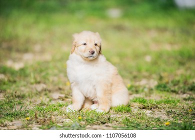 Hovawart puppy, fawn color, female, sits on the grass