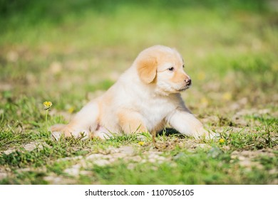 Hovawart puppy on the grass