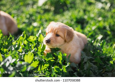 Hovawart puppy is playing in the grass, portrait