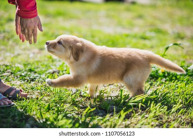 Hovawart puppy runs to its owner