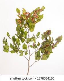 Hovenia dulcis is the scientific name of this plant