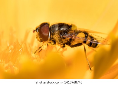 Hover fly, commonly mistaken for a bee, is feeding on wildflower nectar and is covered in polllen