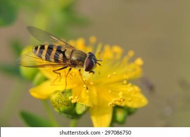Hover fly( Episyrphus balteatus) on Hypericum flowers (Hypericum perforatum or St John's wort)
