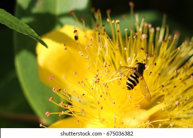Hover Fly or Flower Fly, Syrphus ribesii, on stamens of a yellow Hypercium flower, Rose of Sharon in summer.