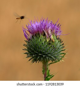 Hover fly hovering beside a thistle in bloom