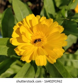 A hover fly is hovering over the central parts of the yellow calendula flower or pot marigold flower in my garden.