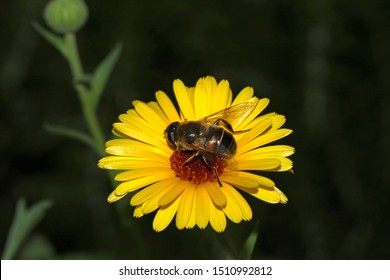 hover fly Latin eristalis pertinax on wild yellow daisy also called yellow chrysanthemum maxim or shasta daisy with an orange centre close up in summer in Italy