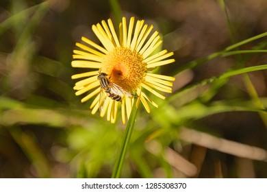 A hover fly on an elecampane flower head.